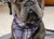 Aqua Coolkeeper Cooling Hunde Bandana, scottish grey